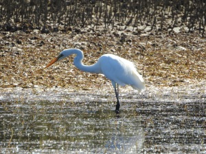 17-11-great-egret-candlagan-creek-2