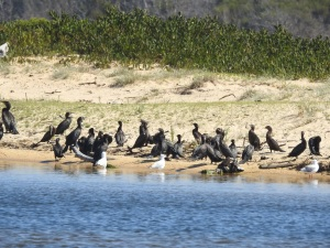 17-11-little-black-cormorants-at-brou-lake