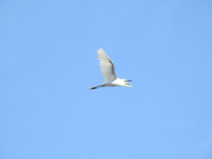 17-11-little-egret-flying-at-brou-lake-1