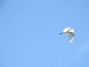 17-11-little-egret-flying-at-brou-lake-2