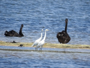 17-11-little-egrets-and-swans-at-brou-lake
