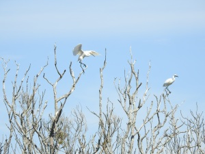 17-11-little-egrets-in-tree-at-brou-lake-1