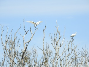 17-11-little-egrets-in-tree-at-brou-lake-2