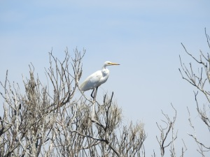 17-11-little-egrets-in-tree-at-brou-lake-3