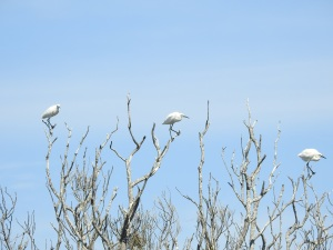 17-11-little-egrets-in-tree-at-brou-lake-4
