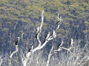 17-11-little-pied-cormorants-at-brou-lake