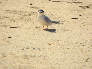 17-11-little-tern-at-brou-lake-3