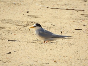 17-11-little-tern-at-brou-lake-5