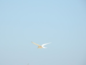 17-11-little-tern-flying-at-brou-lake-17