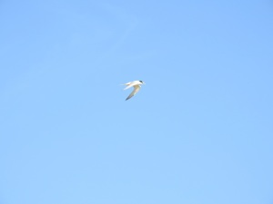 17-11-little-tern-flying-at-brou-lake-2