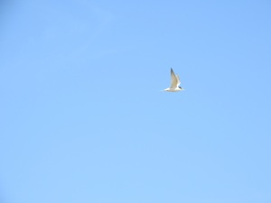 17-11-little-tern-flying-at-brou-lake-3