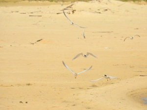 17-11-little-tern-flying-at-brou-lake-5