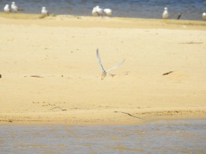 17-11-little-tern-flying-at-brou-lake-9