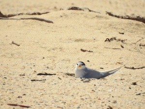17-11-little-tern-nesting-at-brou-lake-2
