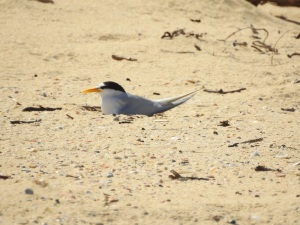 17-11-little-tern-nesting-at-brou-lake-4