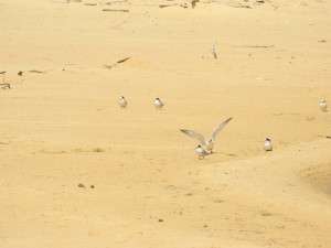 17-11-little-terns-at-brou-lake-4