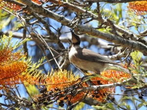 17-11-noisy-friarbird-in-grevillea-tree-at-mogo-zoo-2