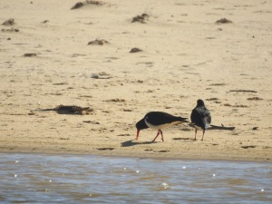 17-11-pied-oyster-catchers-at-brou-lake-2