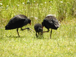 17-11-pukekos-and-chick-at-eurobodalla-regional-botanic-gardens