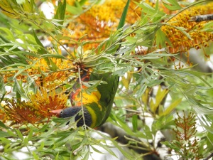17-11-rainbow-lorikeet-in-grevillea-tree-at-mogo-zoo-2