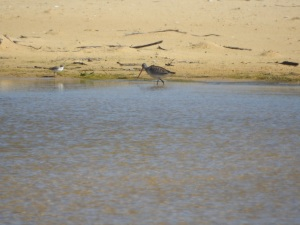 17-11-red-capped-plover-and-a-bar-tailed-godwit-at-brou-lake