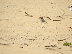 17-11-red-capped-plover-at-brou-lake-2