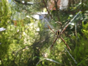 17-11-st-andrews-cross-spider-candlagan-creek