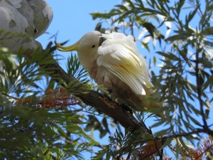 17-11-sulphur-crested-cockatoo-preening-in-grevillea-tree-at-mogo-zoo