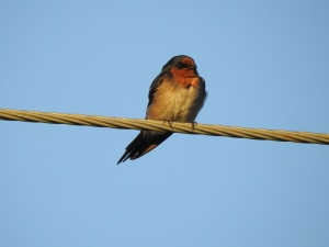 17-11-swallow-at-sunrise-north-broulee