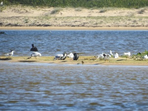 17-11-terns-seagulls-and-little-pied-cormorants-at-brou-lake