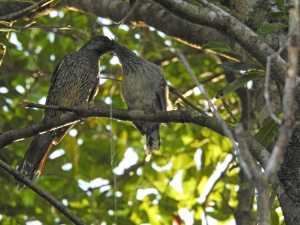 17-11-wattle-bird-feeding-young-broulee-2
