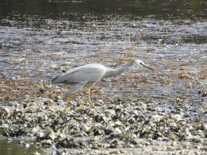 17-11-white-faced-heron-candlagan-creek-2