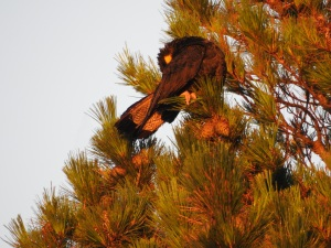 17-11-yellow-tailed-black-cockatoo-at-sunrise-broulee-1
