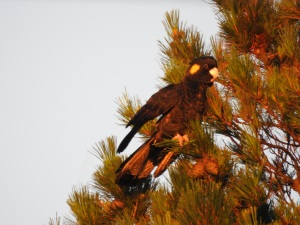 17-11-yellow-tailed-black-cockatoo-at-sunrise-broulee-2