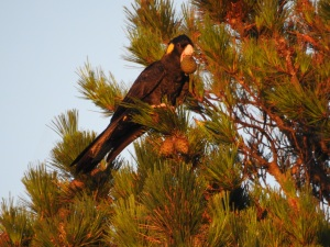 17-11-yellow-tailed-black-cockatoo-with-pine-cone-in-beak-at-sunrise-broulee-2