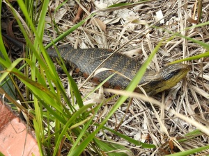 17-12-blue-tongue-lizard-broulee