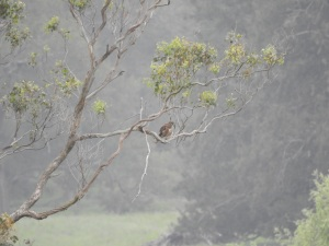 17-12-brown-falcon-near-comerang-7