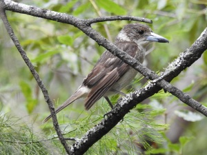 17-12-butcher-bird-candlagan-creek-6