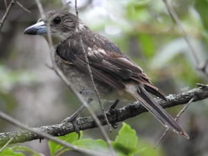 17-12-butcher-bird-candlagan-creek-8