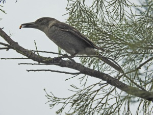 17-12-butcher-bird-with-pittostrum-berry-candlagan-creek
