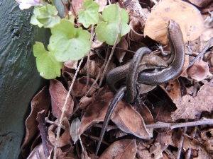17-12-common-garden-skinks-copulating-broulee-5