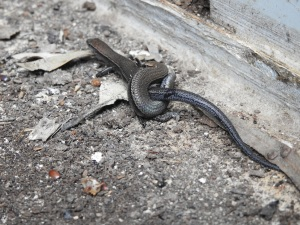 17-12-common-garden-skinks-copulating-in-shed-broulee-2