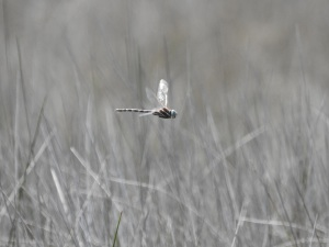 17-12-dragonfly-hovering-candlagan-creek