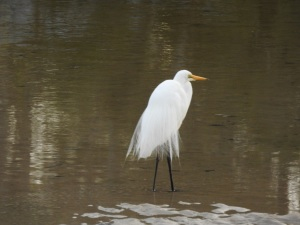 17-12-great-egret-candlagan-creek-1