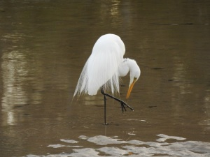 17-12-great-egret-candlagan-creek-2