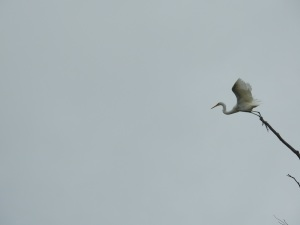 17-12-great-egret-flying-candlagan-creek-1