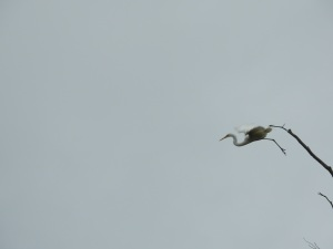 17-12-great-egret-flying-candlagan-creek-2