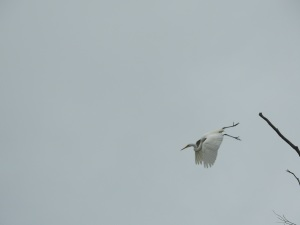 17-12-great-egret-flying-candlagan-creek-3