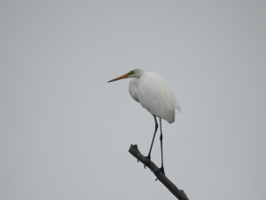 17-12-great-egret-in-tree-at-candlagan-creek-2