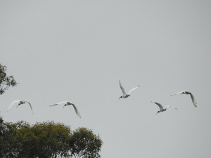 17-12-ibis-flying-candlagan-creek-3